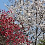 桃(左)と桜