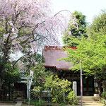 枝垂れ桜と拝殿