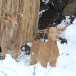 Die Ziegen fühlen sich auch im Winter wohl