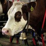 Eine unserer 20 Milchkühe im Stall