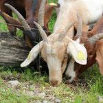Die Ziegen beim Fressen
