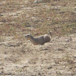 Prairie Dog :)