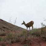Deer/ Reh