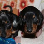 brothers Tsezar & Tsvetan (4 weeks)