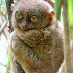 Tarsier monkey conservation area