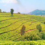 the climate is temperate, the vegetation is lush. We saw some tea plantations on our way