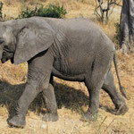 African elephant: check