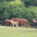 Stutenherde auf Sommerweide, 2014