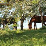Rentnerstuten im Obstgarten