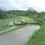 Reisfeld Bali