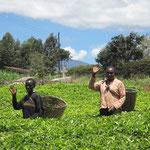 ケニアの紅茶畑より ごあいさつ…