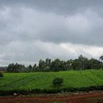 曇り空の茶畑