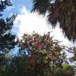 木の葉の間にブーゲンビリア