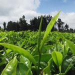 茶畑の緑がまぶしいです