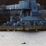 --- Schweinswal im Flensburger Hafen ---. Ich wollte mir nur eine location am Abend ansehnen. Ein tolles Gefühl diese Tieren ganz aus der Nähe zu erleben.