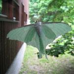 きれいな蛾です なんと言う蛾でしょうか