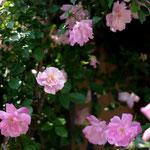 駐車場にバラの花