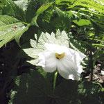 白花シラネアオイ