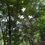 タムシド(コブシ)の白い花