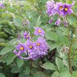ジャガイモの花三種①