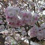 珍しい昔の桜ダヨ