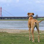 Deutsche Dogge mit Blick auf den Rhein