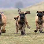 Welpe deutsche Dogge gelb beim toben, Welpen spielen, laufen