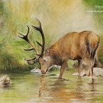 hert in water - pastelpaste en -potlood op pastelmat - 30x40cm - te koop