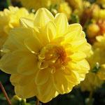 Dahlie 'Golden Emblem' - Dekorative Dahlie - Bio