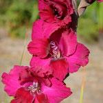 purpurfarbene Edelgladiole - Gladiolus 'Plumtard' (Bio)