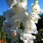 weiße Edelgladiole - Gladiolus 'Ocilla' (Bio)