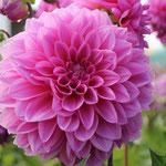 Dahlie 'Lucky Number' - Dekorative Dahlie - Bio