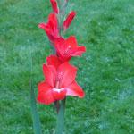 rote Edelgladiole - Gladiolus 'Mascagni' (Bio)