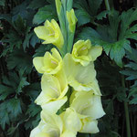 gelbe Edelgladiole - Gladiolus 'Novalux' (Bio)