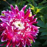 Dahlie 'Vancouver' - Großblumige Dahlie - Bio
