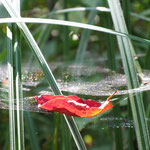 Traubenkirschenblatt