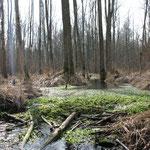 Biberdamm im Sumpfwald