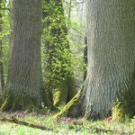 Alteichen-Wald