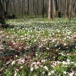 Erlen-Eschen-Sumpfwald