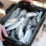 Novi Vinodolski, fishing