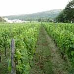 """Novi Vinodolski, """"Pavlomir"""" vineyards"""
