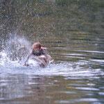 Au bain - nette rousse male