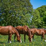 Verblüffend häufig sind zurzeit im Marstall fuchsfarbene Pferde mit auffälligen Abzeichen anzutreffen. Oft sind die Einsiedler aber auch braun oder dunkelbraun und unterscheiden sich in ihrem Aussehen kaum von anderen Warmblutpferden. Foto: Katja Stuppia