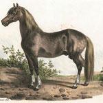 Das Schwyzerpferd war mit Zentrum Einsiedeln vom Emmental bis ins Rheintal verbreitet und bildete die Landrasse der Urkantone. Das Bild von J. J. Volmar entstand um 1840. Quelle: Archiv Thomas Frei