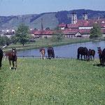Rita, aus der Quarta-Linie und Sella, die der Sella-Linie den Namen gab, weideten mit ihren Familien beim Klosterweiher. Ihre Nachkommen sind bis heute im Marstall und in der ganzen Schweiz anzutreffen.  Foto: KAE F4.0/0173.0003