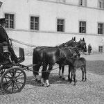 """Die Aufgaben einer Zuchtstute waren 1964 ein """"Fulltime-Job"""". Bei Einsätzen der Stuten als Kutsch- oder Arbeitspferde waren die noch säugenden Fohlen in früheren Jahren oft mit dabei. Foto: KAE F3.0/0128.0006"""