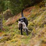 Ivy beim jagdlichen Training