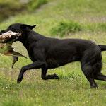 Sage mit 11 Monaten beim ersten jagdlichen Training