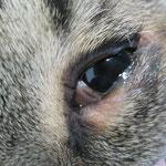 Entropium bei einer Katze (eingerolltes Unterlid): Haare reiben auf der Hornhaut und verursachen so Schmerzen und Reizungen der Hornhaut