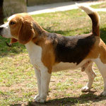 Cucciolo beagle